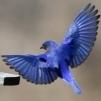 BlueBirdMentors