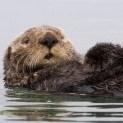 sea_otter123