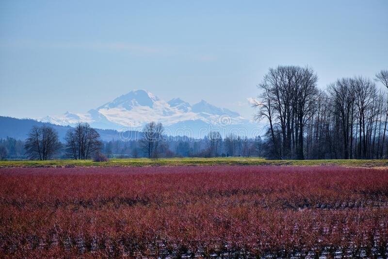 snowcapped-mount-baker-majestic-over-blueberry-fields-pitt-meadows-bc-winter-abundant-snow-glorious-glow-red-220721001.jpg.6504446544875d4e42c708e3aab036d8.jpg